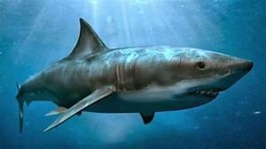 Megalodon Shark - Pets