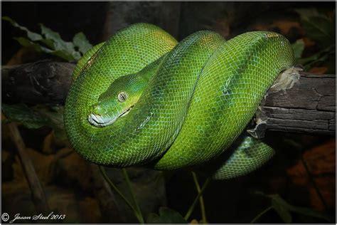 how do pythons live how long do green tree pythons live beatiful tree