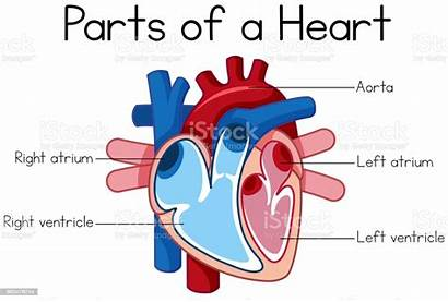 Diagram Heart Parts Illustration Aorta Atrial Drawing