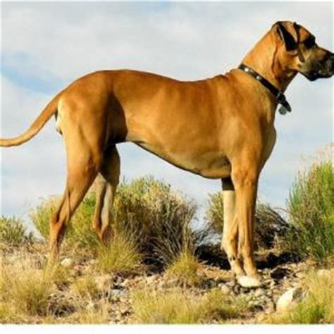 german dogo giant dog breeds
