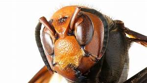Everything You Need To Know About Murder Hornets