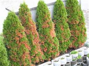 Lebensbaum Hecke Schneiden : lebensbaum orientalischer lebensbaum 39 brabant 39 ~ Eleganceandgraceweddings.com Haus und Dekorationen
