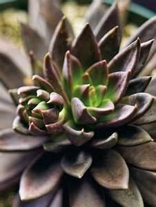 Succulent Plant Echeveria Neon Breaker rosette curl