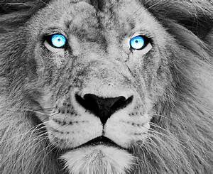 Blue Eyed Lion by DarkMntnDzns on DeviantArt