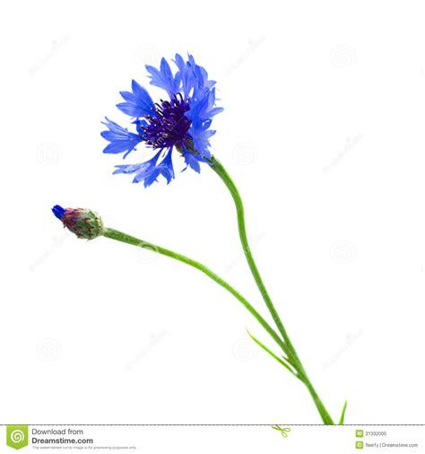 blue corn flower royalty free stock 31332005