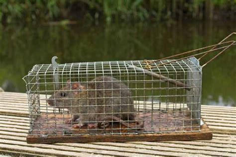 Ratten Bekaempfen Und Aus Dem Haus Vertreiben by Ratten Im Haus Sch 228 Dlingsbek 228 Mpfer 14