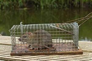 Ratte Im Haus : ratten im haus sch dlingsbek mpfer 14 ~ Buech-reservation.com Haus und Dekorationen