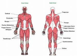 Diagram Of The Major Muscles Of The Body
