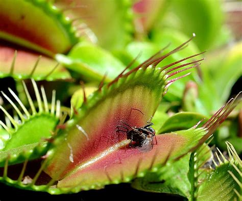 Venus Fly Trap Images Venus Fly Trap