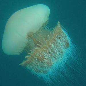Giant files: Nomura and Lion's mane jellyfish
