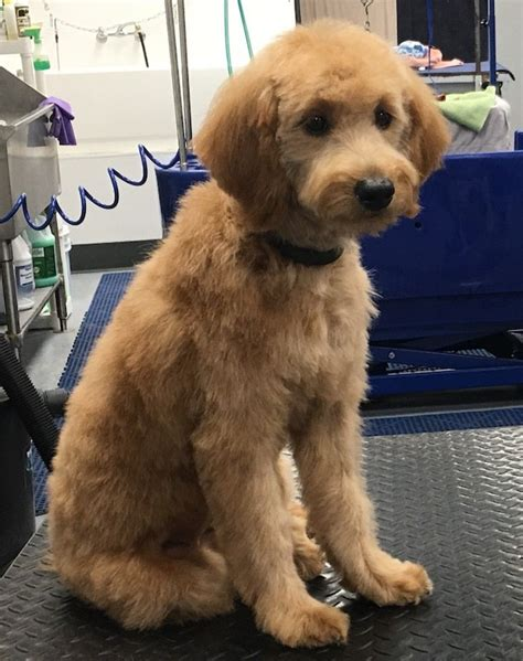 golden doodle puppy wags  riches dog grooming
