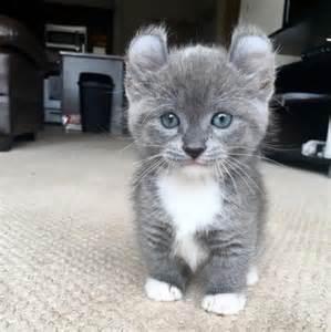 cats with legs 25 best ideas about munchkin kitten on
