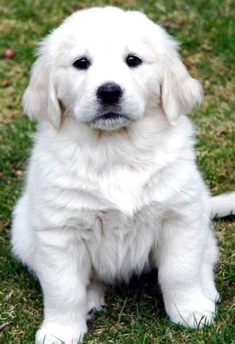ideas  white golden retrievers  pinterest