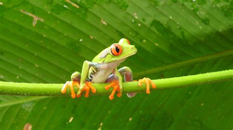 Free Download Wallpaper of Frog | HD Wallpapers