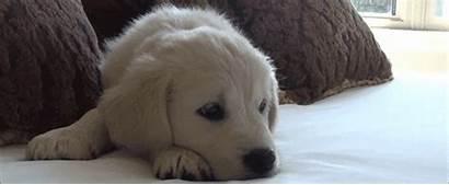 Retriever Golden Puppy Retrievers Dog Gifs Animated