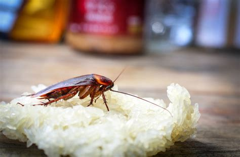 water bug  cockroach  differences   identify