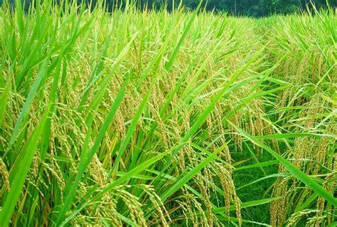 beras sawahlega padi sawah singkil