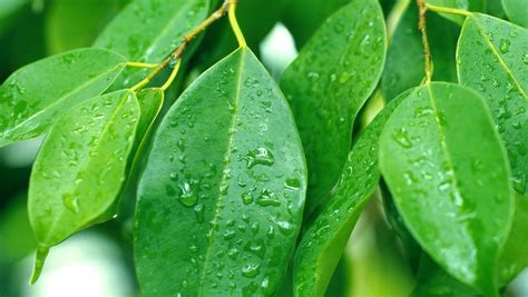 Ficus Pflanze Pflege by Birkenfeige So Pflegen Sie Den Ficus Richtig