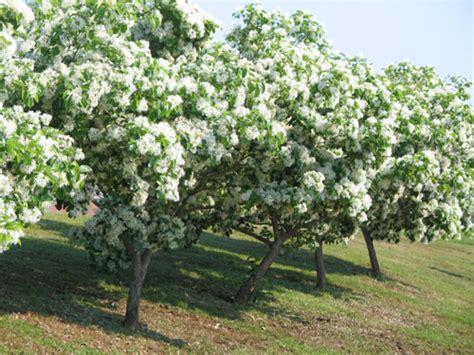 small flowering trees small flowering trees distinct vision