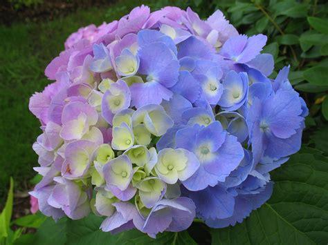 hydrangea pictures hydrangea flowers