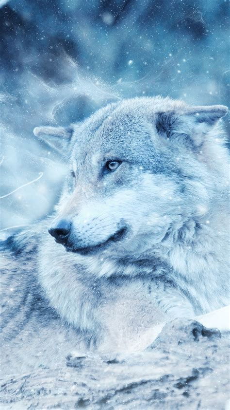 wallpaper wolf wild snow winter cold hd animals