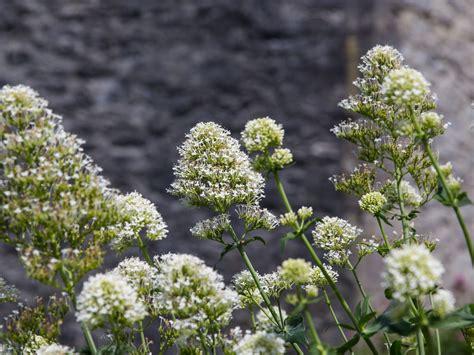 Weiß Blühende Stauden by Wei 223 Bl 252 Hende Spornblume Albus Centranthus Ruber Albus