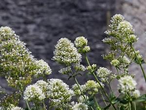 Weiß Blühende Stauden : wei bl hende spornblume 39 albus 39 centranthus ruber 39 albus 39 baumschule horstmann ~ Watch28wear.com Haus und Dekorationen
