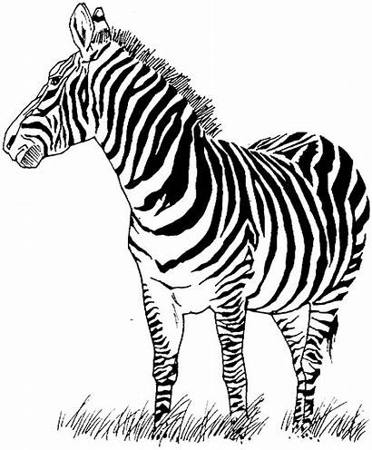 Zebra Coloring Pages Printable Stamps Stamp Deep