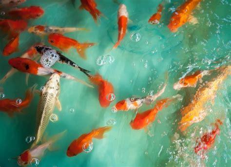 anchor worm symptoms fish petmd