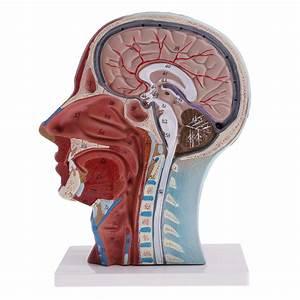 Life Size 1 1 Scale Human Head  U0026 Neck Anatomical Model