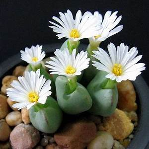 Online Buy Wholesale lithops seed from China lithops seed ...
