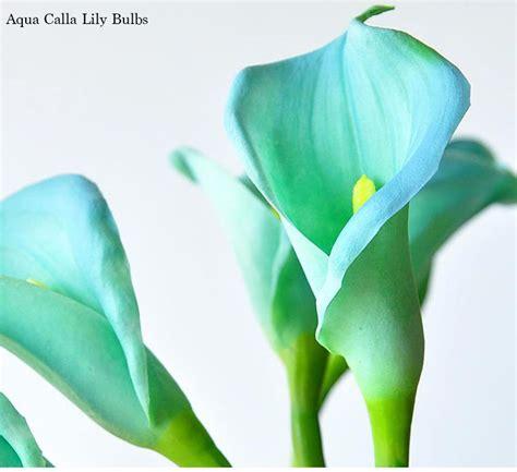 calla bulbs planting 2 4 bulbs aqua calla lily bulbs potted balcony plant calla bulbs ebay