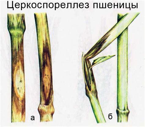 http://agroflora.ru/bolezni-pshenicy/