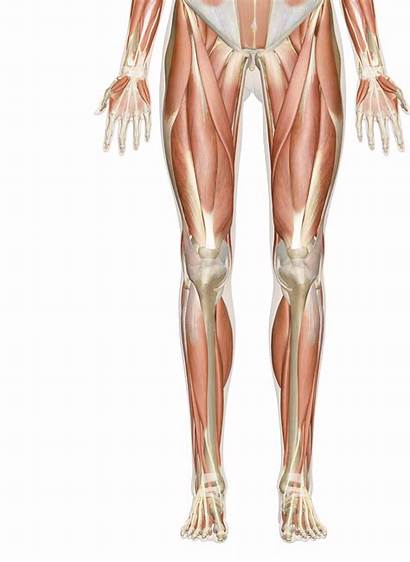 Muscles Leg Muscle Diagram Foot Anterior Knee
