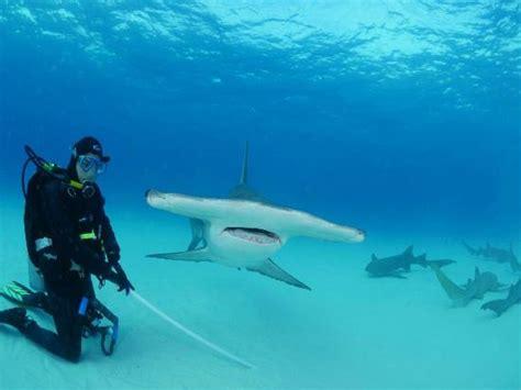 great hammerhead shark  bimini picture  neal watson