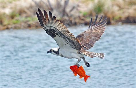 Images Of Osprey Osprey 187 Bird Watcher S Digest