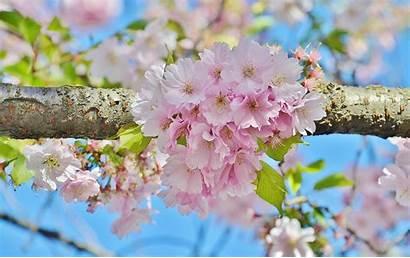Sakura Flower Spring Desktop Wallpapers Refresh Phone