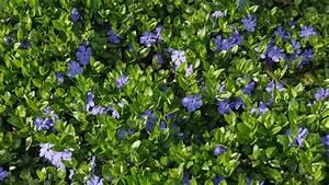 Blau Blühender Bodendecker : bodendecker pflanzen verschiedene arten sat 1 ratgeber ~ Frokenaadalensverden.com Haus und Dekorationen