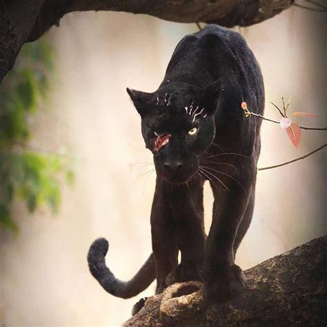 Jeune panthère noire