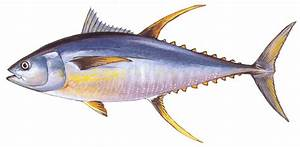 Outer Banks Gamefish - We describe the most common sportfish
