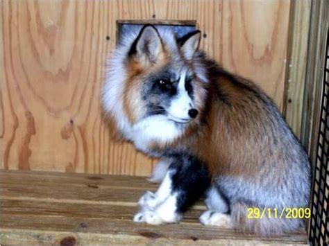 foxes as pets pet foxes for sale fennec fox for sale dubai city pets for sale pt39602 animal photos