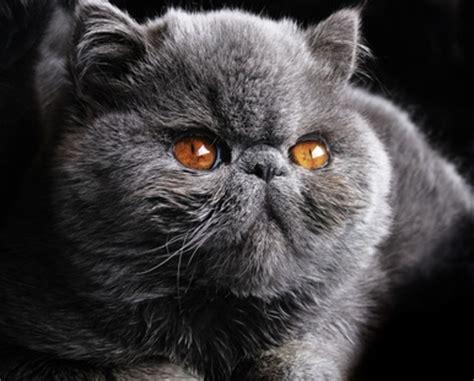 gatti persiani a pelo corto shorthair veterinaritalia it