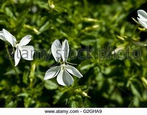 Viola cornuta alba White Horned Viola Stock Photo, Royalty ...