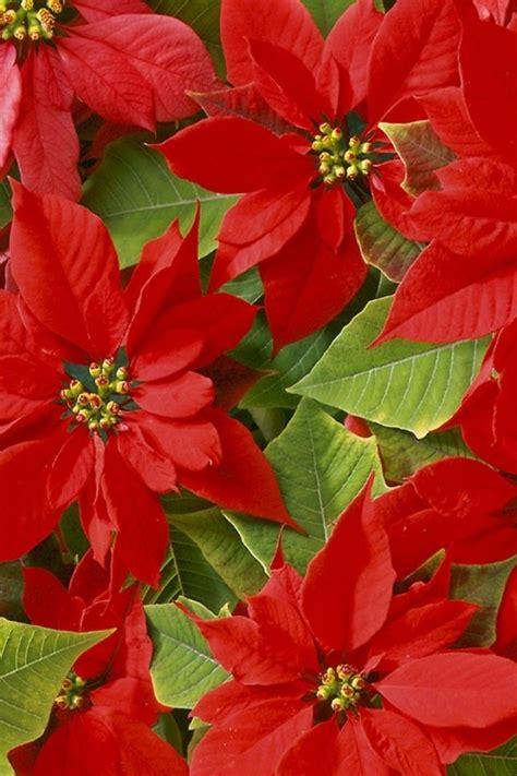 poinsettias plants poinsettias flowers pinterest