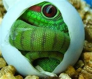 17 Best images about giant Madagascar day gecko's on ...