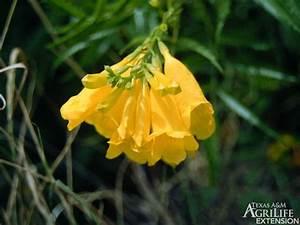 Plants Of Texas Rangelands  U00bb Yellow Bells