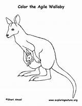 Coloring Wallaby Animals Sheet Animal sketch template