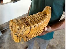 An Elephant Tooth Picture of Millennium Elephant