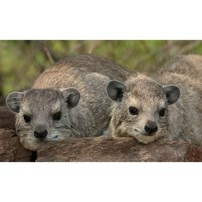 Edge Of The Plank: Cute Animals: Baby Rock Hyraxes
