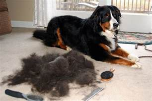 Dogs That Shed Hair by Why Do Dogs Shed In The Fall Rover